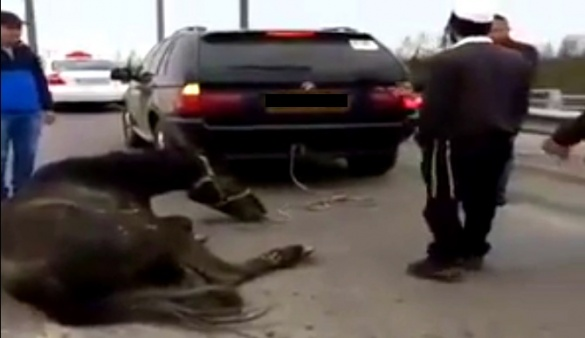 Уманські хасиди прив'язали коня до іномарки і на швидкості тягнули по трасі (ВІДЕО)
