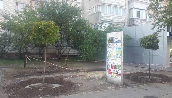 На місці зрізаних лип на площі 700-річчя з'явилися нові дерева