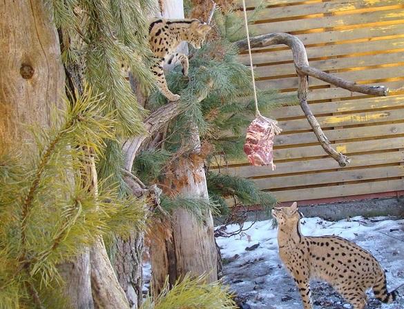 Аби отримати їжу, мешканцям черкаського зоопарку доводиться її здобути (ФОТО)