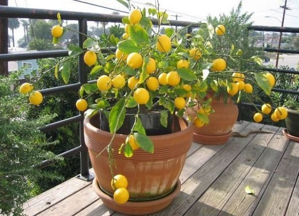 У одному із лісових господарств Черкащини почали достигати лимони Мейєра (ВІДЕО)