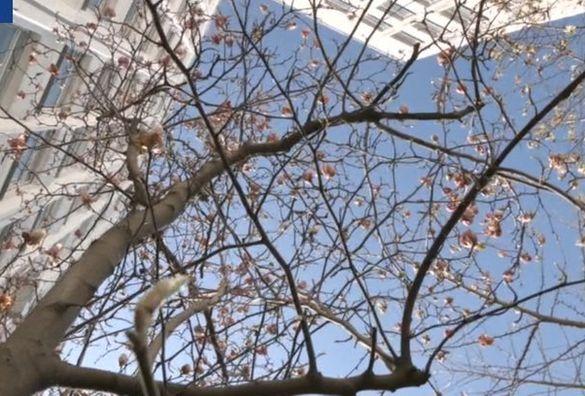 У Черкасах розквітли магнолії (ФОТО)