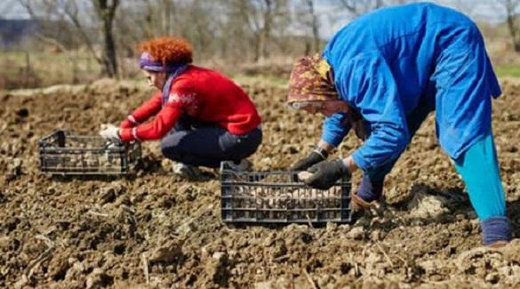У Кам'янці хворі на коронавірус садять картоплю та працюють на городах