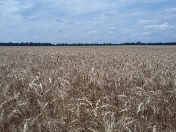 Черкаські аграрії вже намолотили перший мільйон зерна нового врожаю