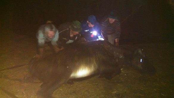 На Черкащині врятували корову, яка застрягла в болоті (ФОТО)