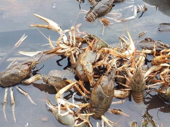 У Черкаській області браконьєри ловлять раків на мертвих тварин