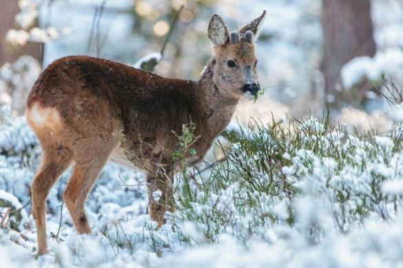 У Черкаській області розпочався зимовий облік мисливських тварин