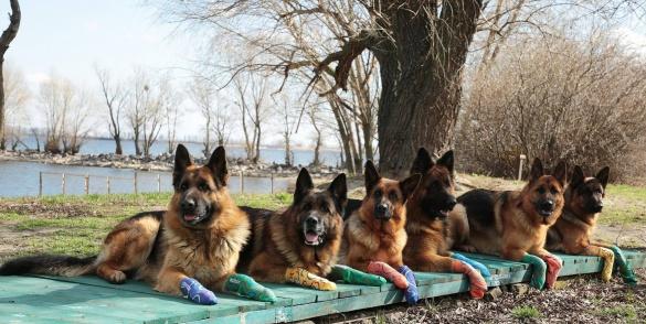Чотирилапі лікарі: підопічні черкаського клубу собаківництва працюють реабілітологами з особливими дітьми