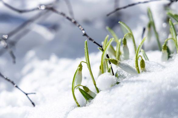 Під снігом на Черкащині розквітають первоцвіти (ФОТО)