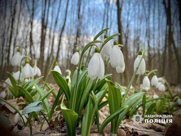 Фотографувати, а не зривати: на Черкащині охороняють унікальні підсніжники (ФОТО)