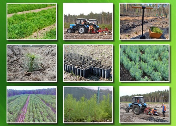 Майже тисячу гектарів лісів висадили в Черкаській області