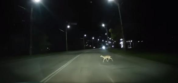 Дикі тварини в місті: в Черкасах по дорогах бігають косулі