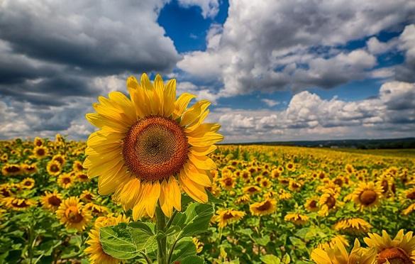 Урожай соняшнику на Черкащині може сягнути рекордних значень