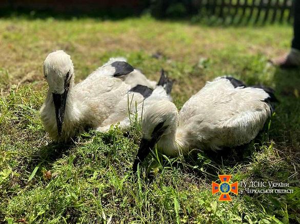 На Черкащині рятувальники допомогли лелекам, у яких впало гніздо (ФОТО)