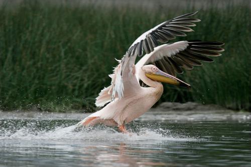 Черкаський зоопарк став домівкою для пеліканів