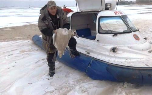 У Черкасах лебідь врятував життя замерзлому чоловіку (ВІДЕО)