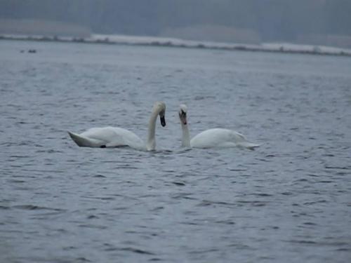 На Черкащину прилетіли лебеді (ФОТО, ВІДЕО)