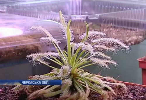У квартирі черкащанина хижі рослини вбивають комах (ВІДЕО)
