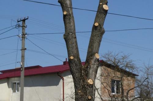 Навпроти Будинку Торгівлі обрізатимуть дерева