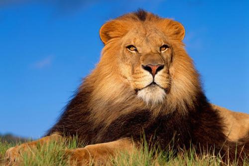 Лев із Луганської області живе в родині на Черкащині (ВІДЕО)