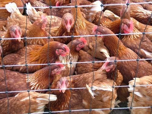 На Черкащині люди бунтують против будівництва птахофабрики