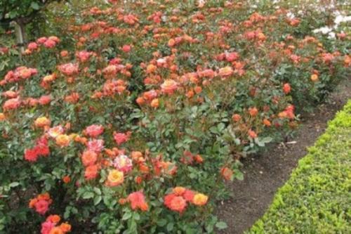 У Черкасах зимова ковзанка знищила троянди (ВІДЕО)