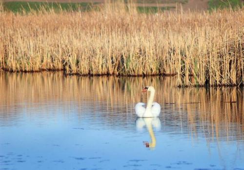 У черкаському селі фотограф відзняв масове гніздів'я лебедів (ФОТО)