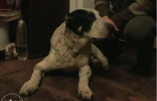 Власниця горезвісних алабаїв спродує собак в інтернеті