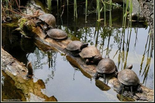 На Черкащині продають черепах для приготування делікатесів
