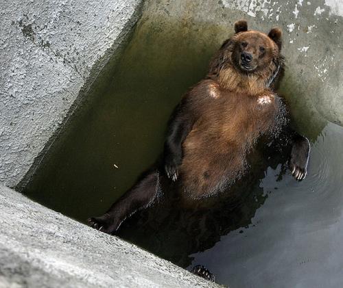"""Соцмережу """"підірвало"""" кумедне відео з ведмедем у черкаському зоопарку"""
