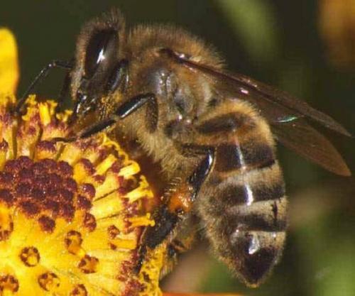 У Черкаській області тисячами гинуть бджоли