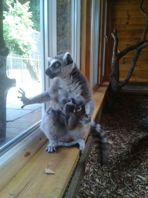 У Черкаському зоопарку народилося двійко лемурів (ФОТО)
