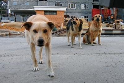 На Золотоніщині бездомні пси пошматували пенсіонерку