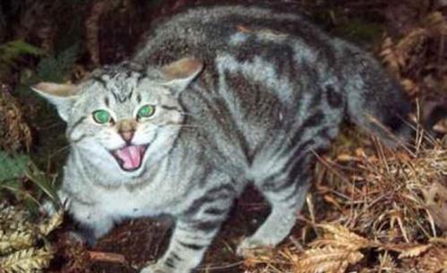 У двох селах Черкаського району людей покусав скажений кіт