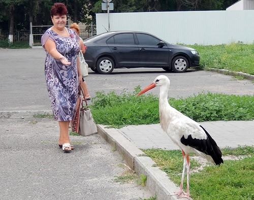 На Черкащині вулицями міста гуляє лелека Інокентій