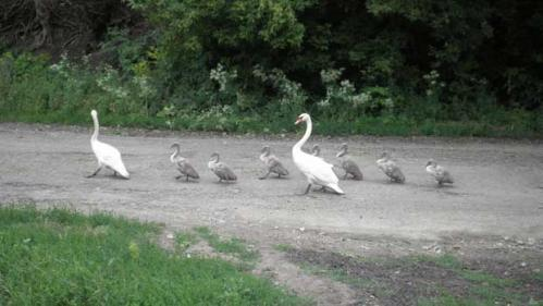На Шполянщині з одного села в інше мандрувала родина лебедів