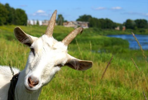 На Чорнобаївщині скажена коза накинулася на господаря