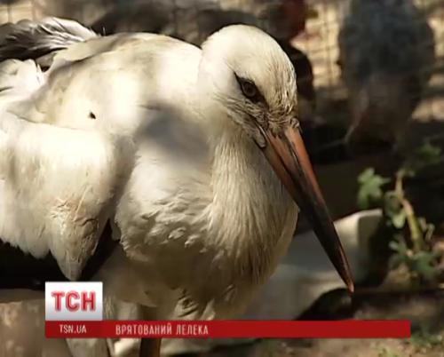 Пенсіонери з Черкащини врятували лелеченя, яке випало з гнізда