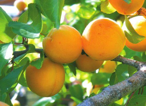 Черкаський депутат просто неба торгував абрикосами (ВІДЕО)