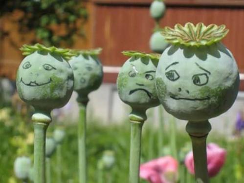 На Черкащині вирощували наркотичний мак із Голландії