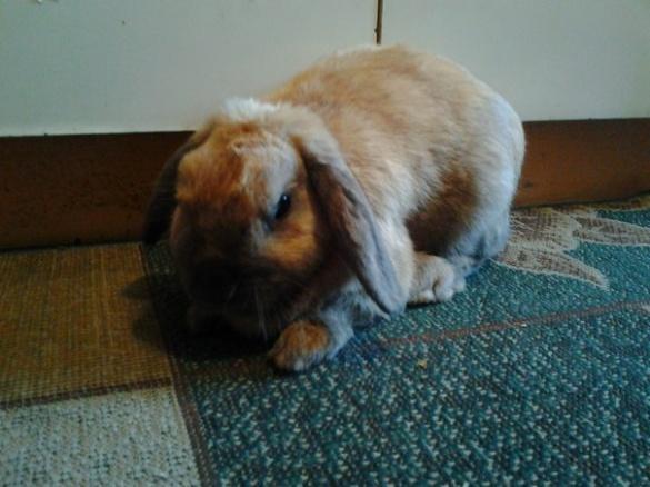У Черкасах розшукують власника кролика