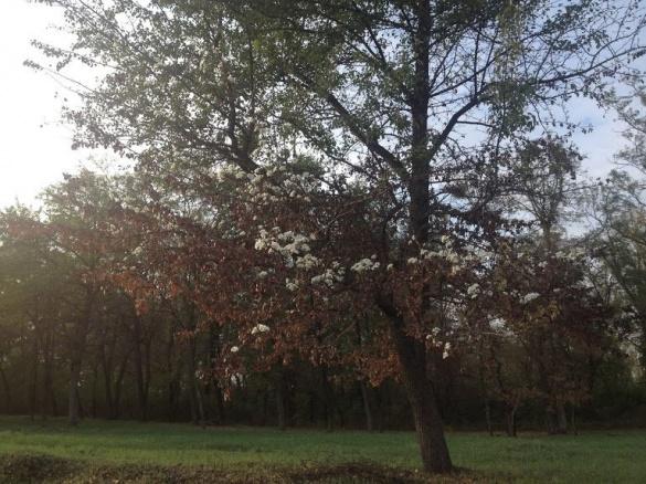 На Черкащині восени зацвіла груша (фотофакт)