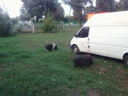 У Черкасах циркові свині вільний час проводять на газоні стадіону