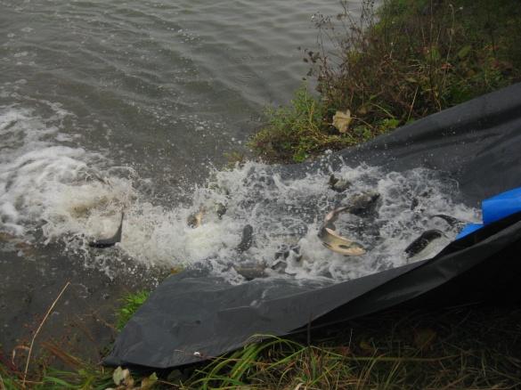 На Черкащині у Дніпро запустили рибу