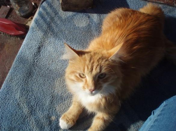 У Черкасах шукають домівку для рудої кішки