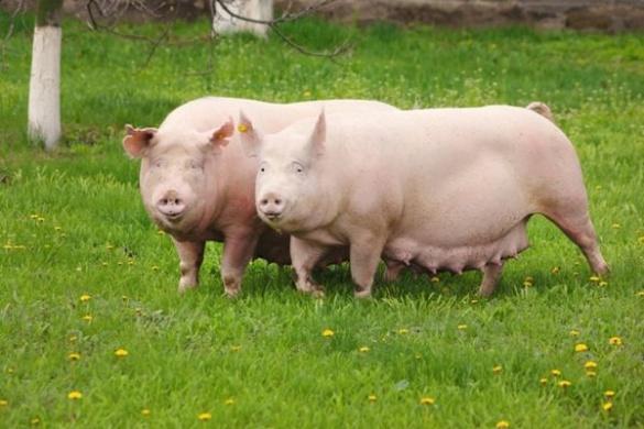 При в'їзді у черкаське село встановили блокпости через африканську чуму свиней