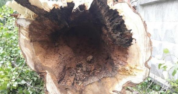 Прихована небезпека: життю черкащан загрожують трухляві дерева