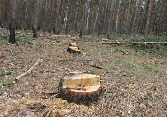 На Черкащині вирубують вікові дуби та сосни для котеджного містечка