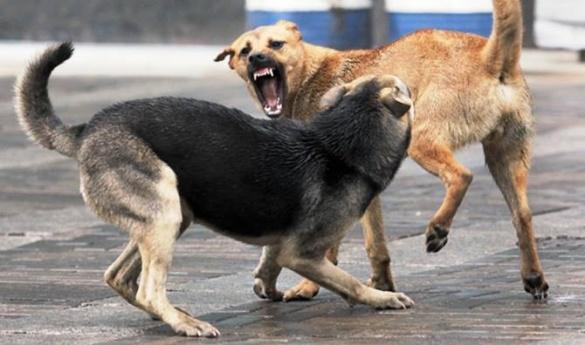 На Черкащині на пенсіонера напала зграя бродячих собак