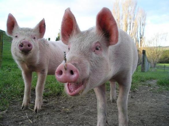 В Черкаській області від вогню врятували свиней