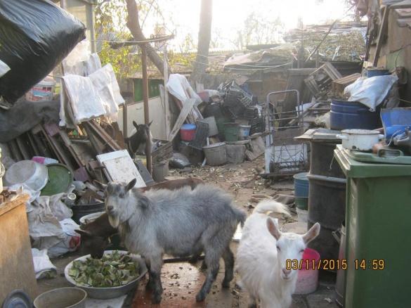 У центрі Черкас пенсіонери розвели кіз та антисанітарію (ВІДЕО)